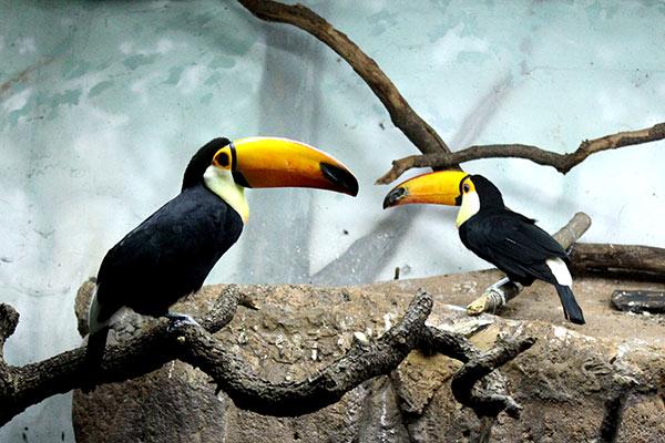 Tucanes-faunia